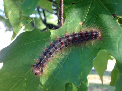 The Very Hungry Caterpillar is Real, and It\u0027s More Than Just a