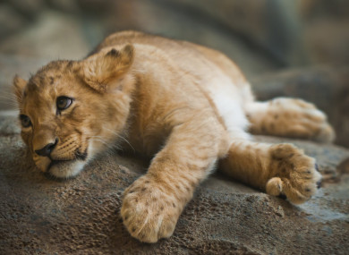 Comments Cute Baby Girl Wallpaper Half Starved Lion Cub Found Wasting Away In Abandoned