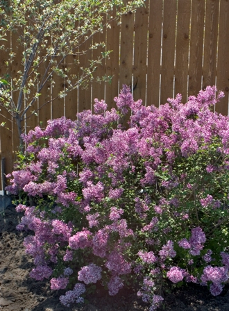 Pruning Shrubs, Part 1 - Why Prune   Proven Winners