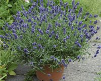 Overwintering Pretty Potted Perennials and Shrubs | Proven ...