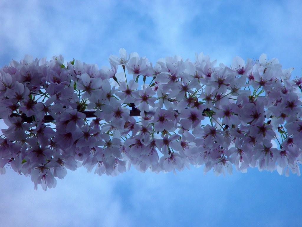 Thank You 3d Wallpaper Beam Up I Ve Faved At Least A Few Dozen Sakura Or Ume