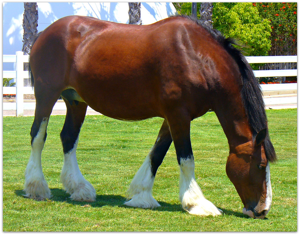 Running Horse 3d Wallpaper Anheuser Busch Clydesdale Mare Grazing At Sea World In San