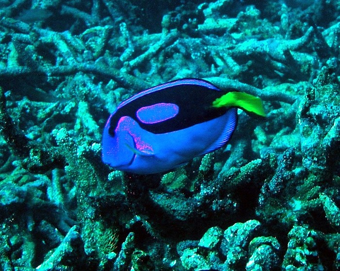 Finding Nemo Wallpaper 3d Pacific Blue Tang At Baker Island Nwr Paracanthurus