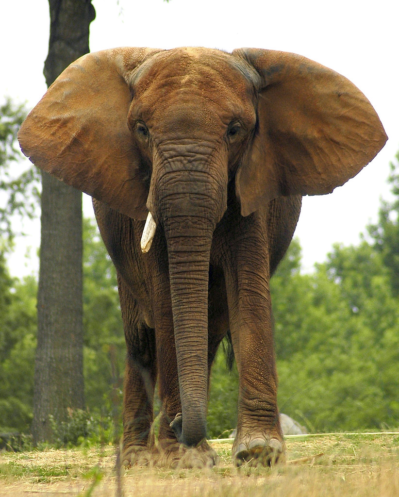 Animal Face Wallpaper African Elephant Valerie Flickr