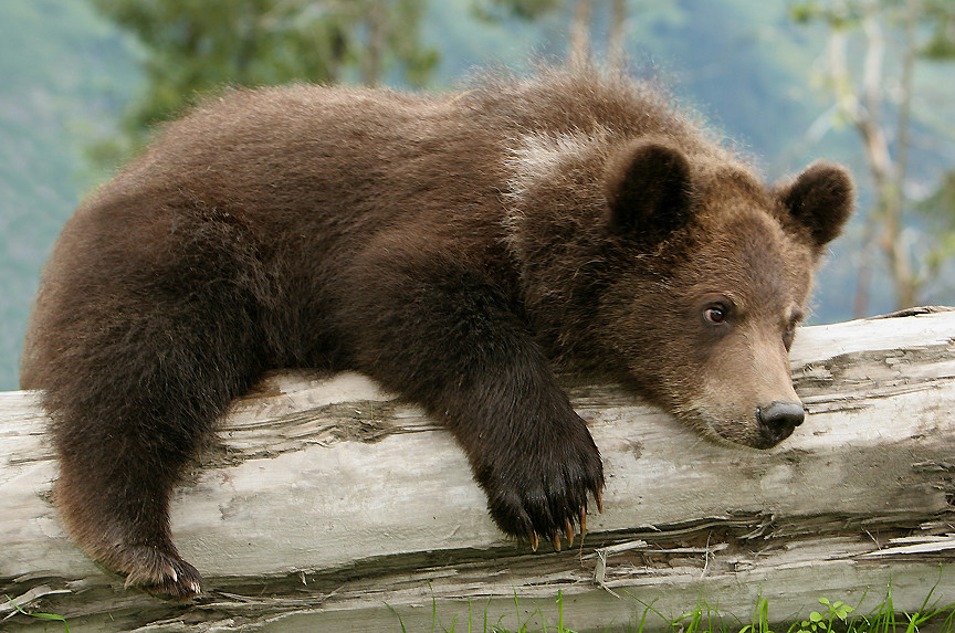 Very Cute Wallpapers For Desktop Brown Bear Cub Waiting For Mom Sad Looking Little Guy