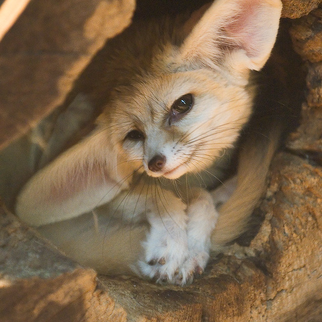Cute Sleeping Babies Wallpapers Fennec Fox Compare With This Shot Volker Wurst Flickr