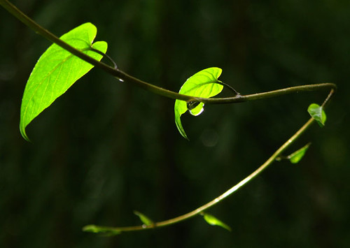 Love Wallpaper Hd 3d Morning Glory Tendrils After The Evening Rains The