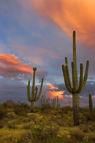 3d Painting Hd Wallpaper Saguaro Cactus Sunset 2 Tucson Az A Saguaro Cactus Duo