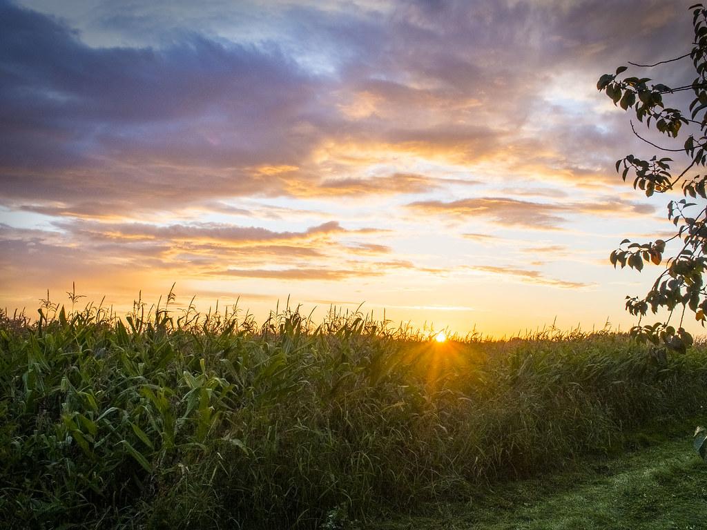 Wallpaper Sunset 3d Cornfield Sunset Evening View Of A Green Cornfield