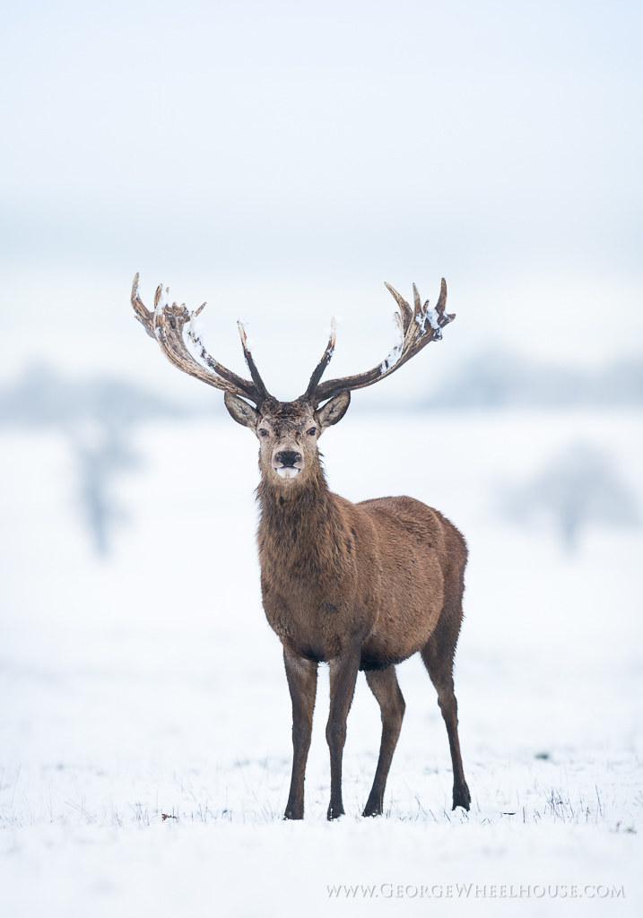 Morning 3d Wallpaper Red Deer In Snow Four More Photos From The Snow On