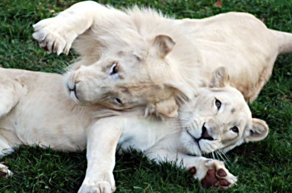 Animal Wallpaper Images Lion Blanc Du Timbavati White Lion Lion Blanc Du