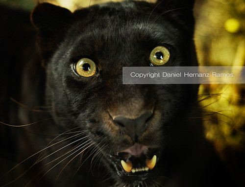 Black Cat Eyes Wallpaper Flipante Pantera Panther Eyes Black Leopard Daniel