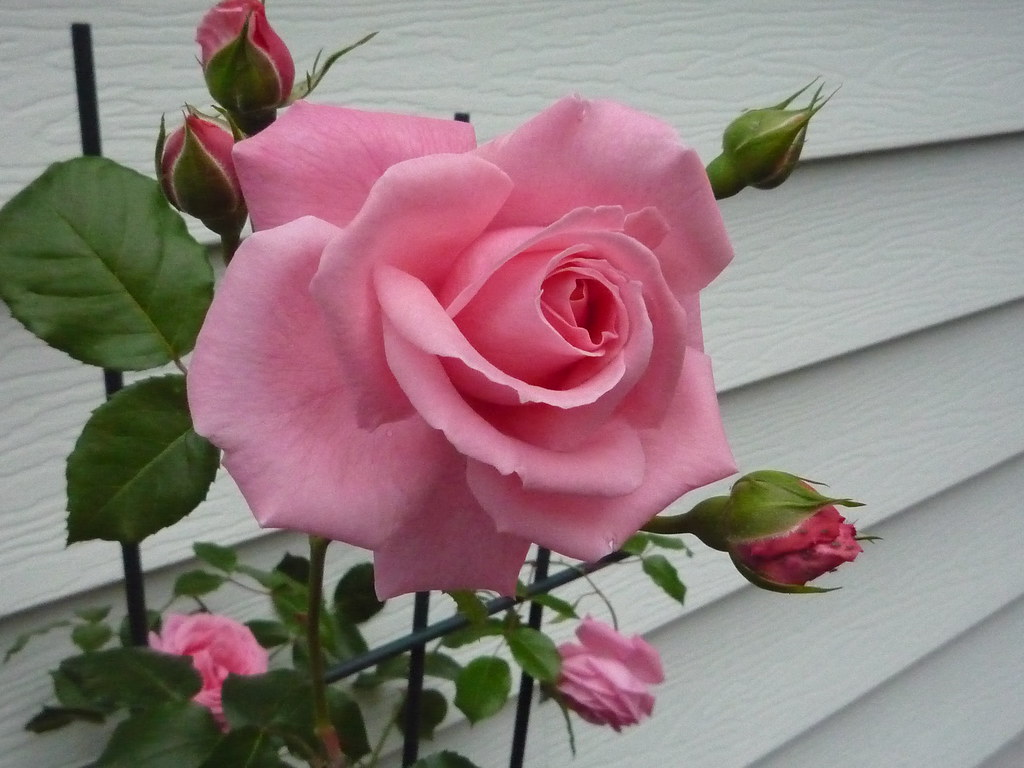 Happy Mothers Day Hd Wallpaper Pink Rose Vine Pink Rose Vine At My Garden Wils 888