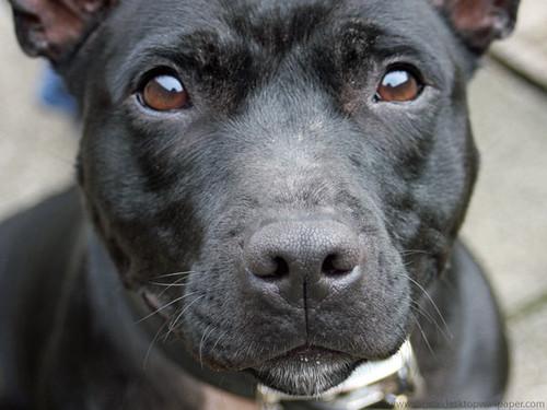 Cute Labrador Puppy Wallpaper Staffordshire Bull Terrier Dog Gorgeous Staffordshire