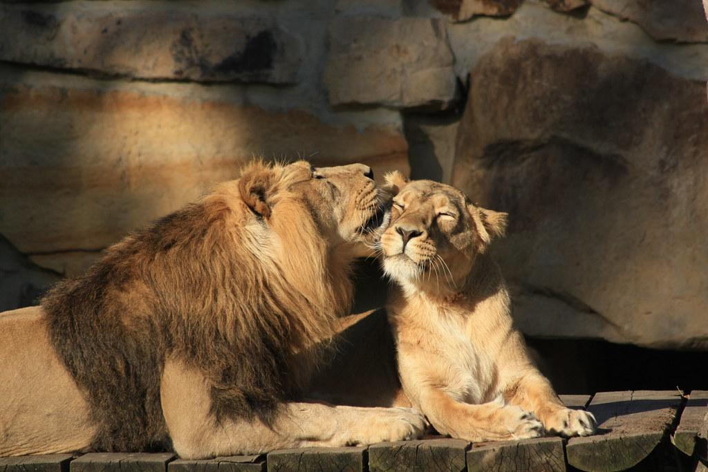 3d Love Couple Wallpaper Lions In Love Jaxx0562 Flickr