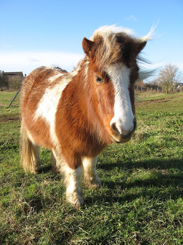 7 Horse Wallpaper 3d Shetland Pony This Li L Fella Lives In A Field Next To