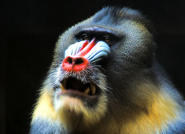 Guns 3d Wallpaper Hd Mandrill Mandril The Mandrill Mandrillus Sphinx Is A