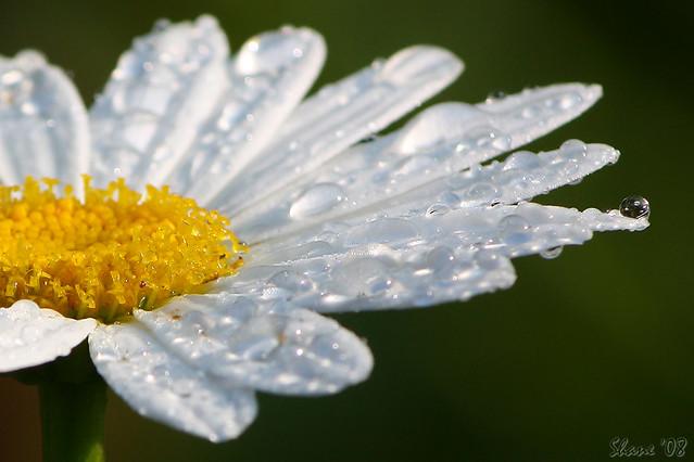 3d White Flower Wallpaper Rain Drops On A Daisy Rain Drops On A Daisy At Glen Ella