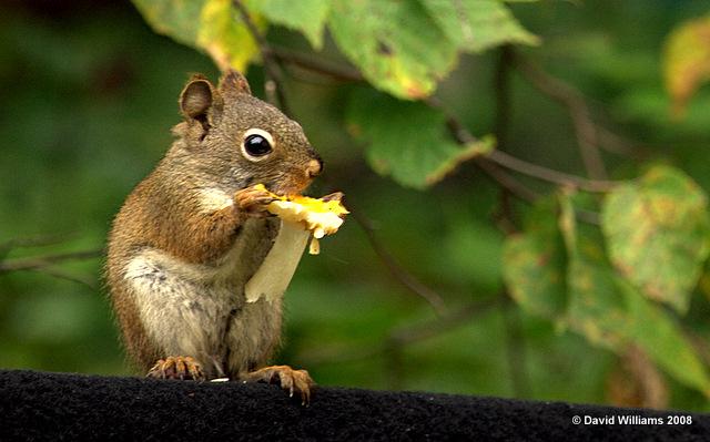 Sweet 3d Hd Wallpaper Squirrel Eating Mushroom David Williams Flickr