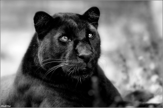 Cute Cat Face Wallpaper Panther This Guy Meant Business Very Aggressive Some