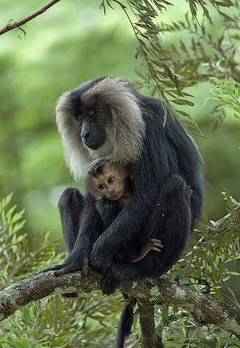 White 3d Wallpaper Hd Lion Tailed Macaque Female With Infant On Silver Oak Tree