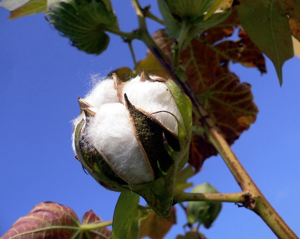 Pianta Del Cotone Immagini Taormina Fruit Of The Cotton Plant In My Garden Il