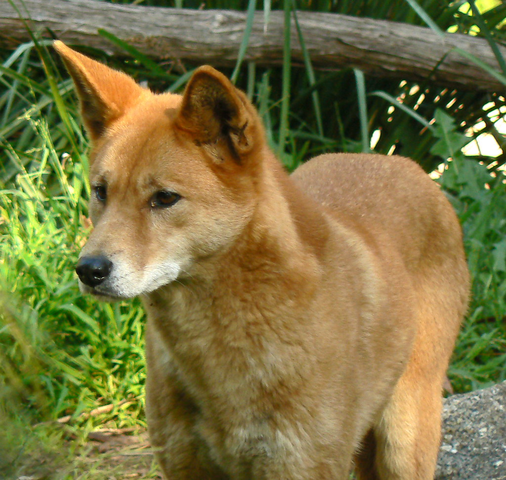 Pet Fox For Sale Australia Alpine Dingo Alpine Dingoes Are One Of Three Main