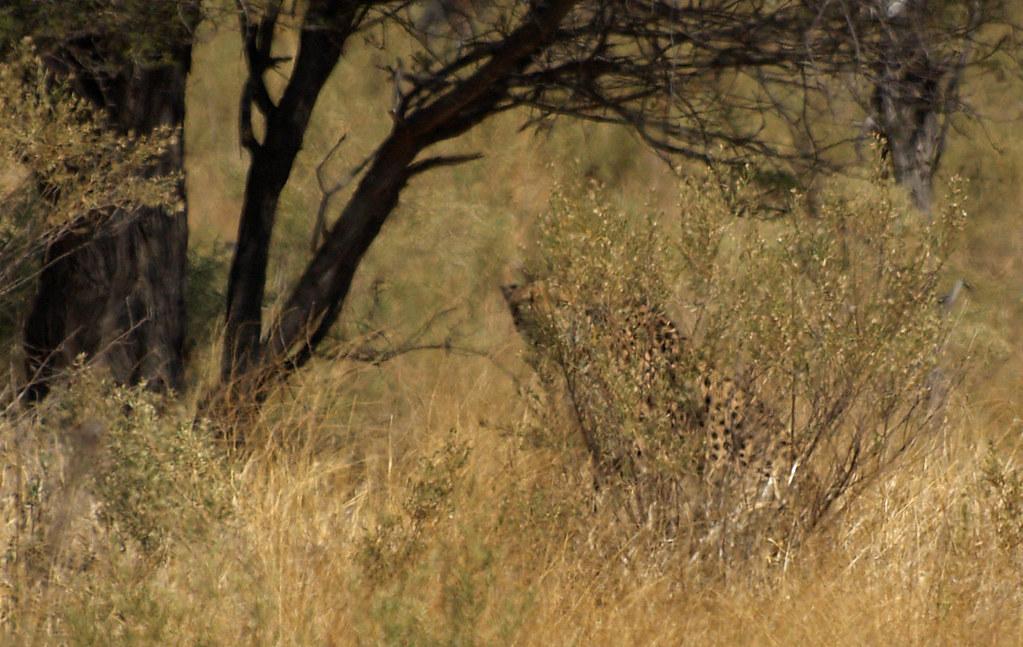 3d Cheetah Wallpaper Hidden Cheetah Phil Flickr