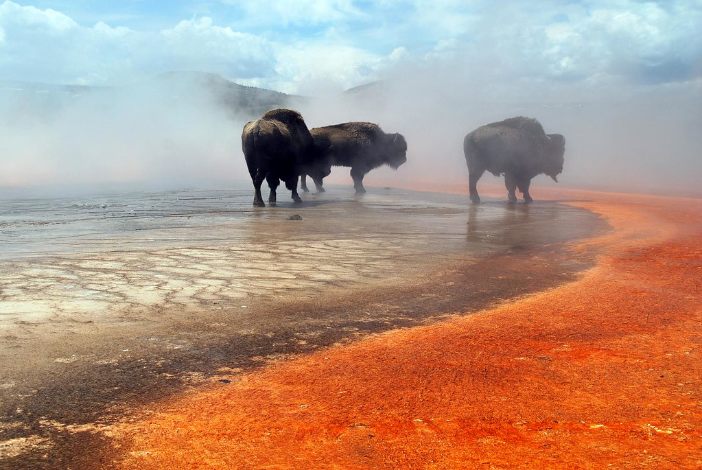 Free 3d Spring Wallpaper Bison Walking Over Grand Prismatic Spring In Yellowstone N