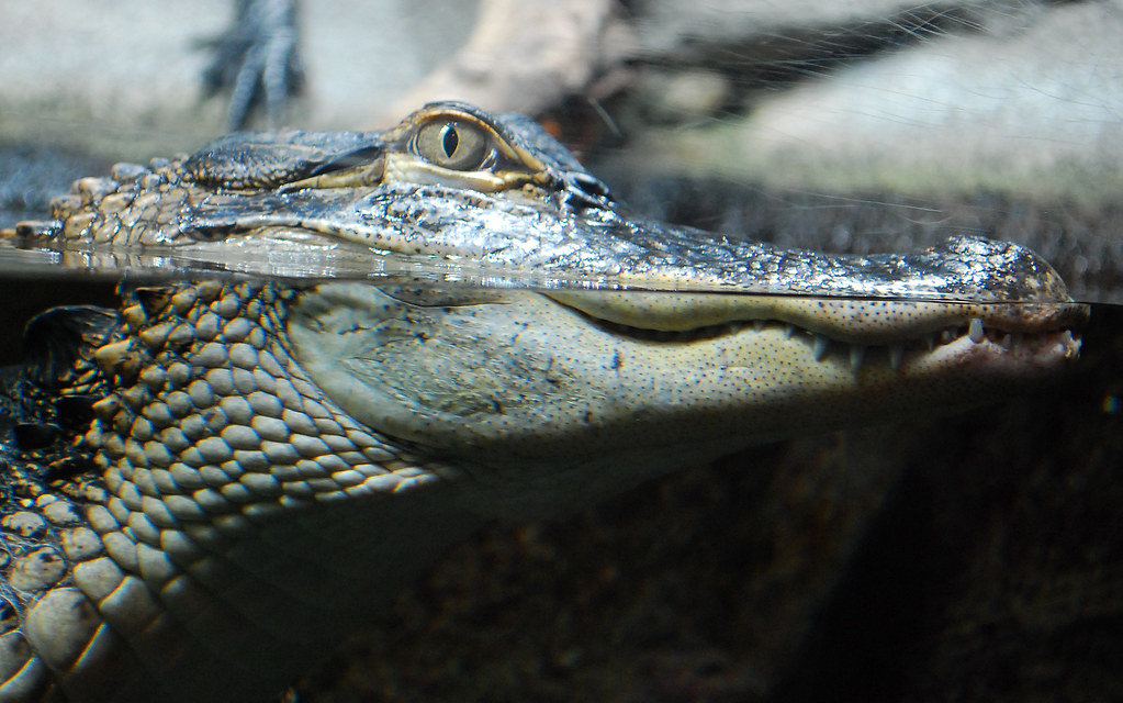3d Wallpapers Wild Animals Alligator At Water Level American Alligator Lurks In The