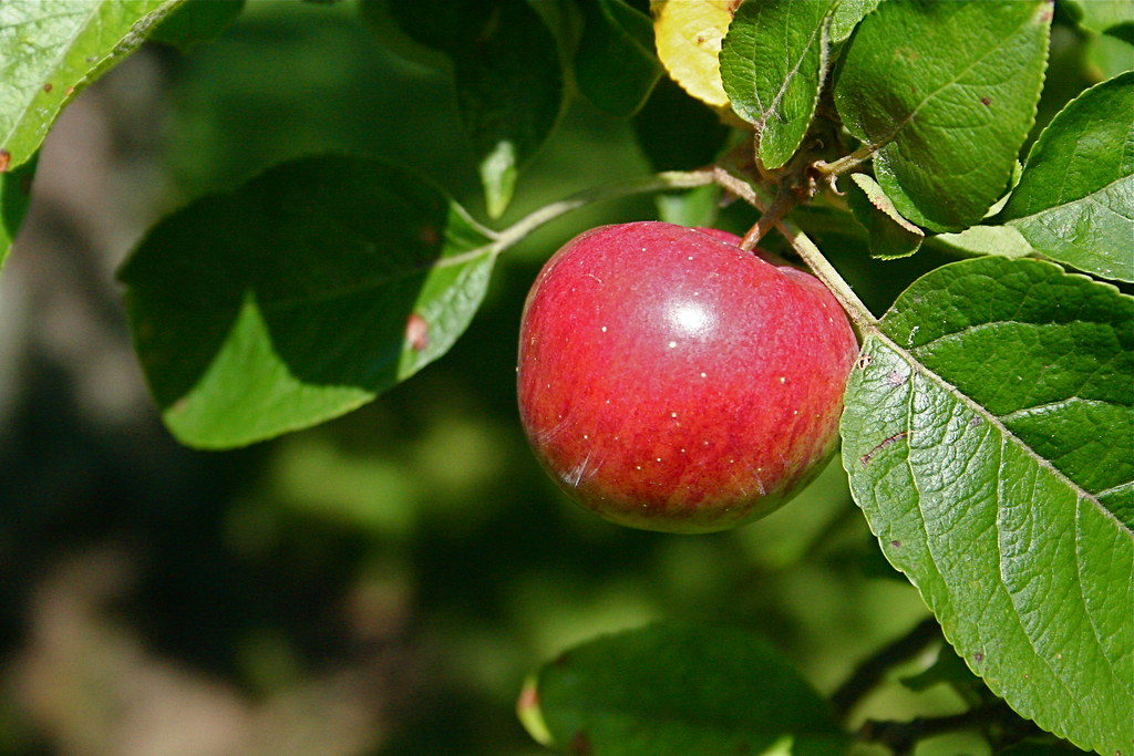Free Wallpaper 3d Hd Apple On A Tree Harbor Farm Calvin Amp Cynthia Hosmer 110