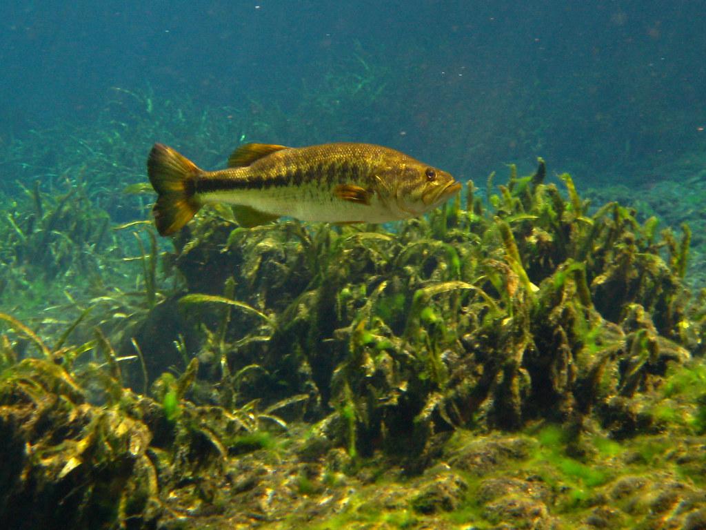 Africa 3d Pro Live Wallpaper Largemouth Bass Img 1638a Jpg Bemep Flickr