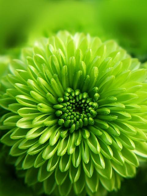 Free 3d Flower Wallpaper Green Mum This Chrysanthemum S Name Is Quot Yoko Ono Quot I M