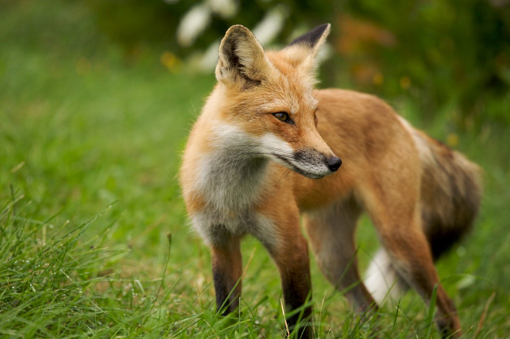 Fox Animal Wallpaper Red Fox Prince Edward Island Canada James Scott Flickr
