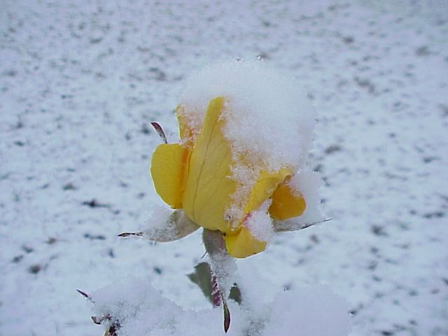 Create A New Reminder Reminder Service Idexx Laboratories Yellow Rose Snow Undated A Late Spring Snow In