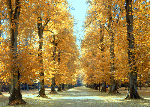Free 3d Wallpaper Backgrounds The Lime Avenue At Westonbirt Arboretum In Autumn