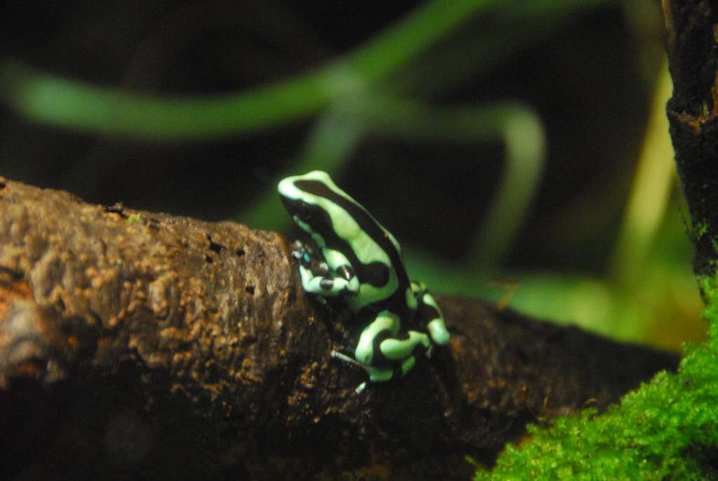 Bing 3d Wallpapers Green And Black Poison Dart Frog Woodland Park Zoo
