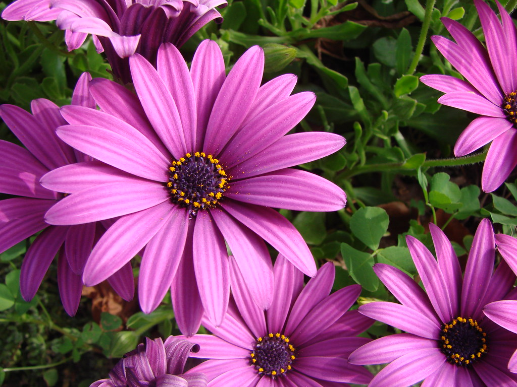 Fall Computer Wallpaper Images Lavender Cape Daisies With Pollen I Didn T Know The