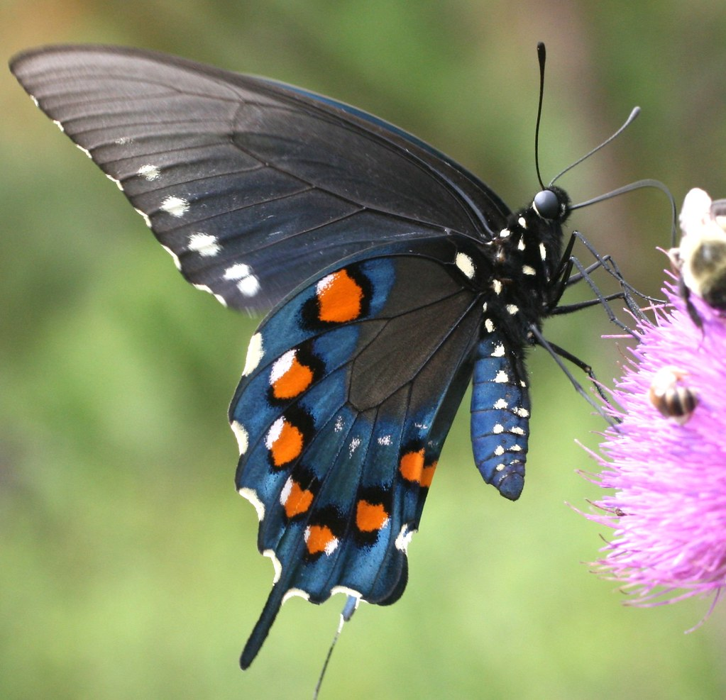 Amazing 3d Peacock Wings Wallpapers Pipevine Swallowtail The Pipevine Swallowtail Is One Of