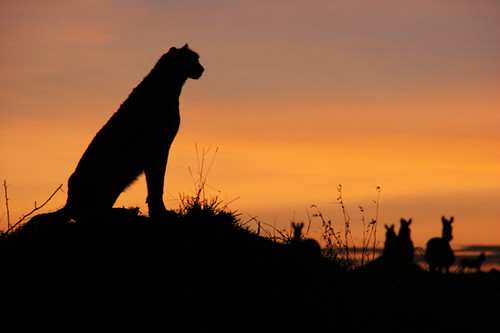 3d White Wallpaper Hd Cheetah And Sunset Living With Lions Flickr