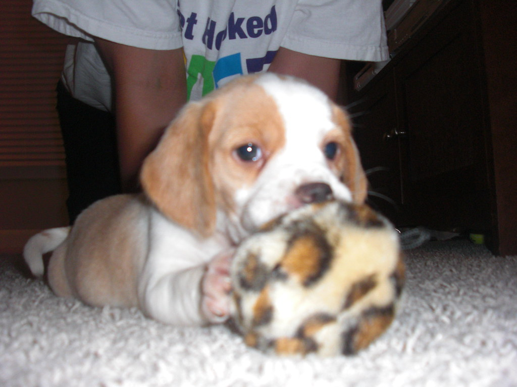 Www Cute Puppies Wallpaper Com Lola My Beagle Puppy Chewing On Her Ball She Is About