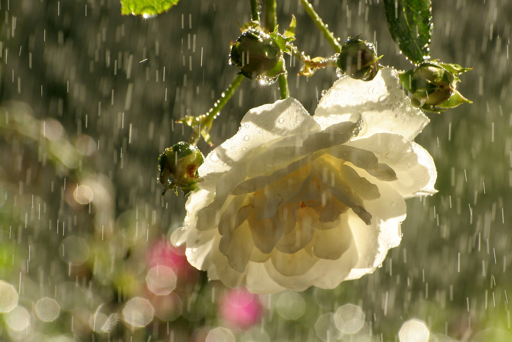 Wallpaper Effect 3d White Roses In The Rain Our White Rose Bush Has Just