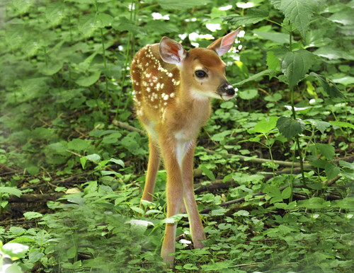 Wallpaper White Black White Tailed Deer Fawn Flickr Photo Sharing