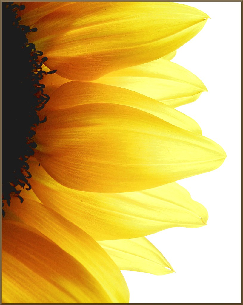 Sun Wallpaper Hd Sunflower Petals Explore 2 3 09 Christy Flickr