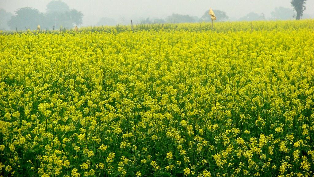 K 3d Wallpaper Yellow Mustard Fields Mustard Fields On A Misty Winter