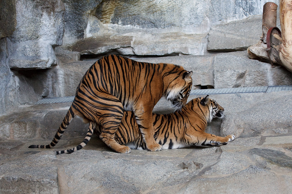 Create Animated Wallpaper Sumatran Tigers Mating They Seem To Try It Every Now And