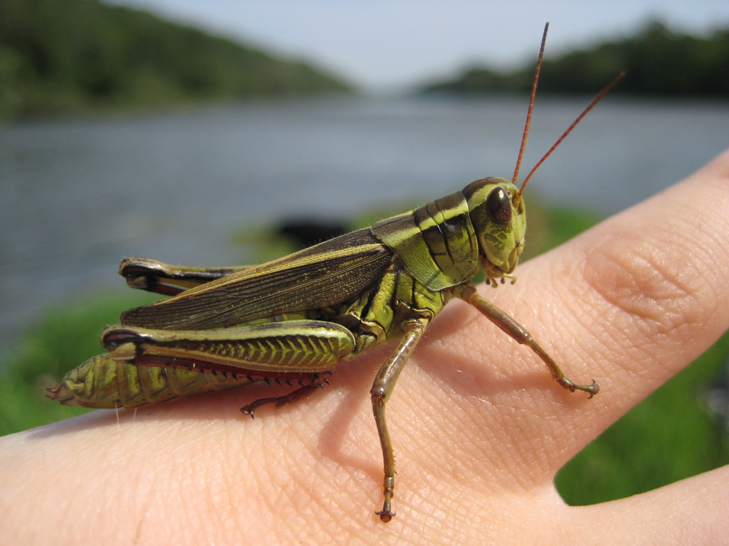 B B 2 One On The Hand .. | Two-striped Grasshopper (melanoplus