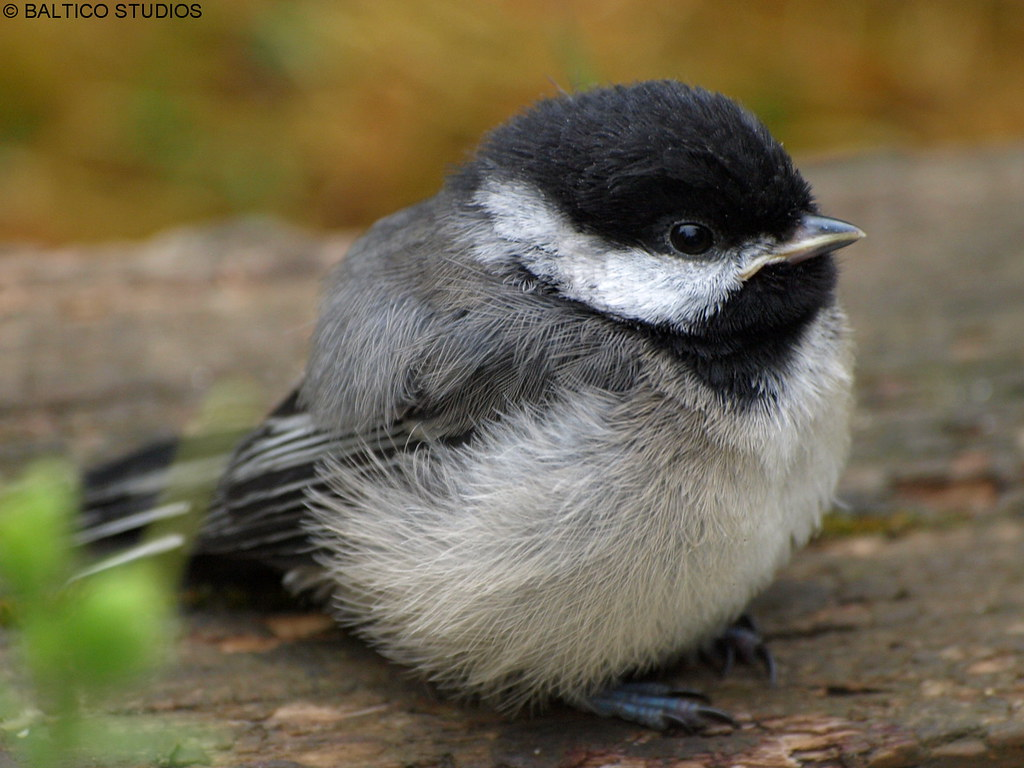 Cute Wallpaper Black And White Birds Black Capped Chickadee Baby P7127813r3 Black Capped