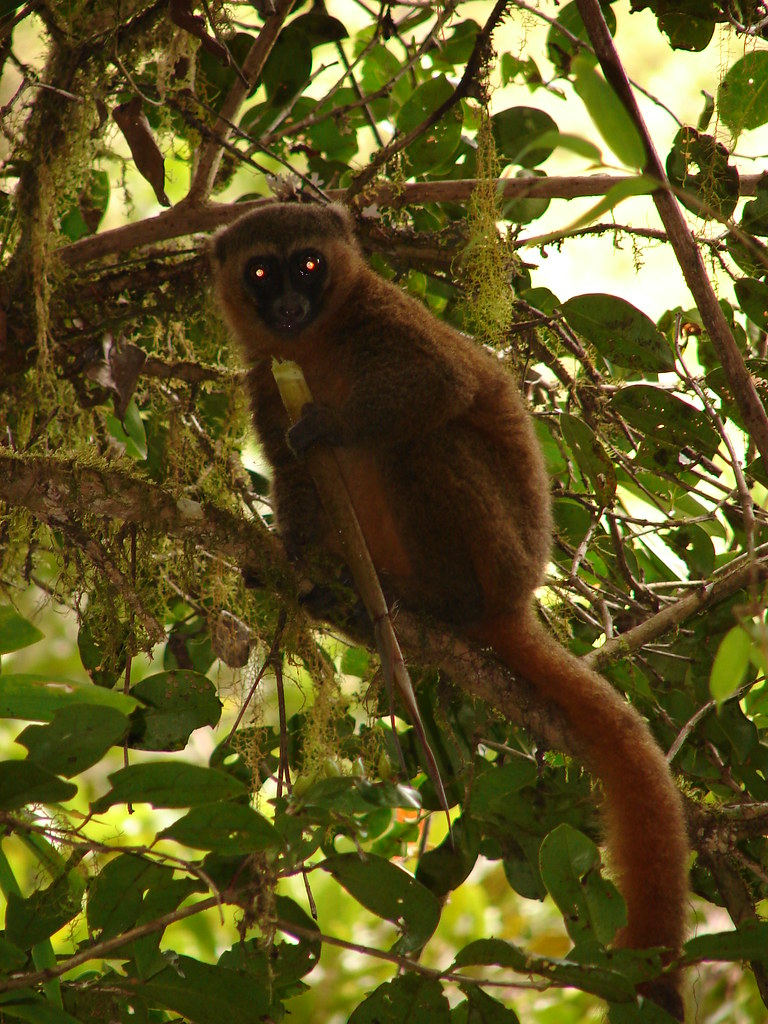 3d Picture Wallpaper Golden Bamboo Lemur Ranomafana National Park Antony
