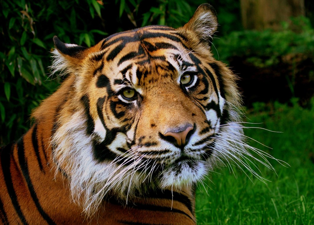 3d Wolves Wallpapers Sumatran Tiger Brian Mckay Flickr